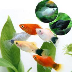 (熱帯魚)ミックスプラティ+ミックスバルーンモーリー(各4匹) 北海道・九州・沖縄航空便要保温