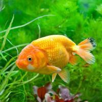 (国産金魚)らんちゅう(ランチュウ) 深見養魚場産(1匹)