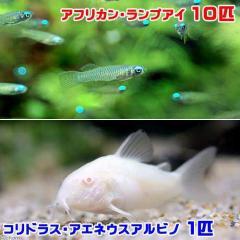 (熱帯魚)アフリカン・ランプアイ(10匹) + コリドラス・アエネウス アルビノ(1匹) 北海道・九州・沖縄航空便要保温