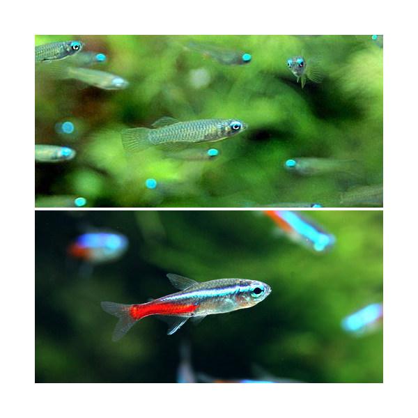 LOHACO - (熱帯魚)アフリカン...