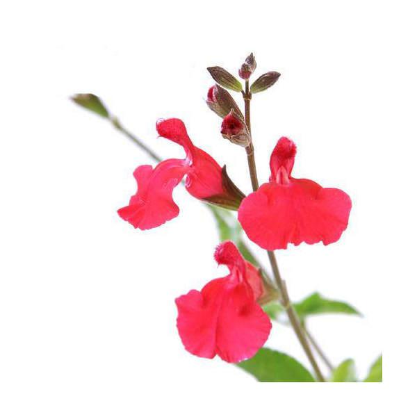 (観葉植物)ハーブ苗 セージ チェリーセージ 3号(1ポット) 家庭菜園
