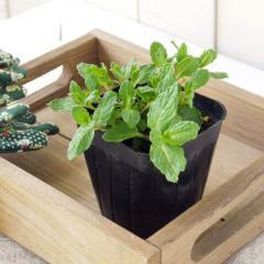 (観葉植物)ハーブ苗 ミント スペアミント 3号(1ポット) 家庭菜園