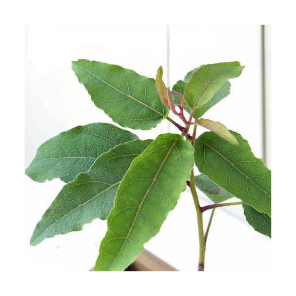 (観葉植物)ハーブ苗 ユーカリ レモンユーカリ 3号(1ポット) 家庭菜園