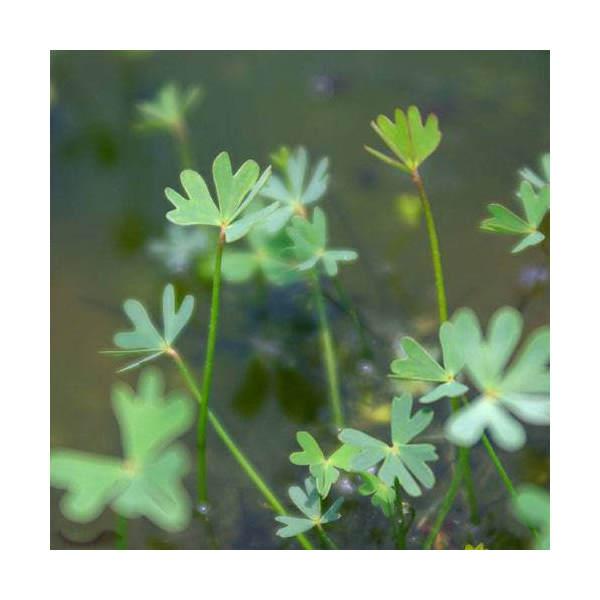(ビオトープ)水辺植物 フギレデンジソウ(1ポット分) 抽水~浮葉植物