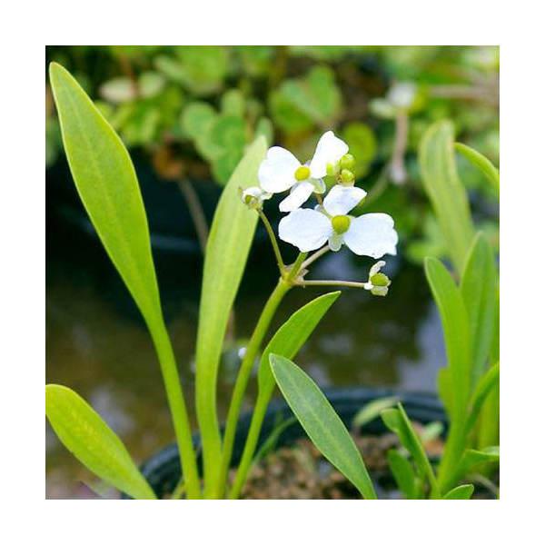 (ビオトープ)水辺植物 ナガバオモダカ(グラミネア)(1ポット分) (休眠株)