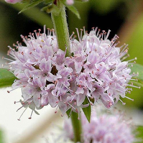 (ビオトープ/水辺植物)ニホンハッカ 原種(1ポット分)