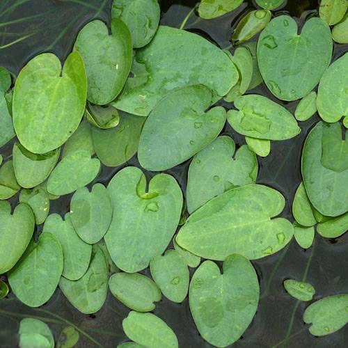 (ビオトープ/水辺植物)マルバオモダカ(1株)