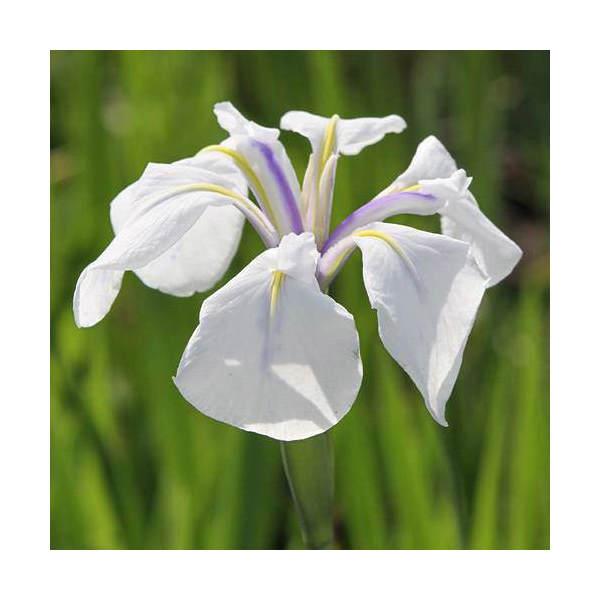 (ビオトープ)水辺植物 カキツバタ 白鷺(シラサギ)白花(1ポット分)(植えたて)