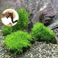 (水草)巻きたて 南米ウィローモス付 流木 SSサイズ(8cm以下)(無農薬)(1本)