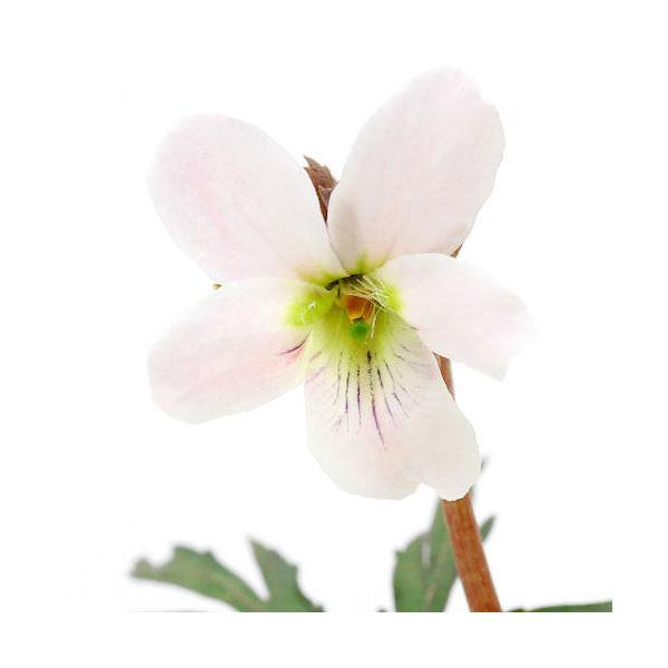 (山野草)エイザンスミレ(叡山菫) 花色おまかせ 2.5~3号(1ポット)