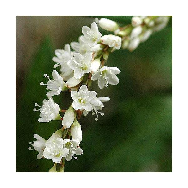 (山野草)シロバナサクラタデ(白花桜蓼)(1ポット分)