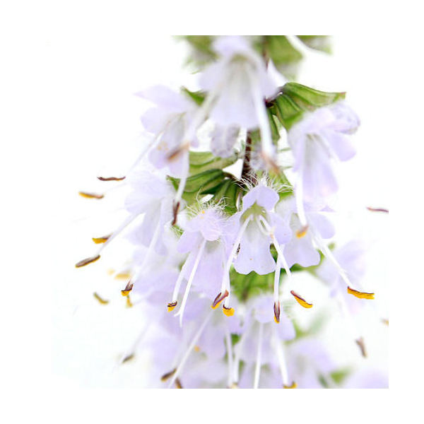 (山野草)ミヤマタムラソウ(ケナツノタムラソウ) 3号(1ポット)