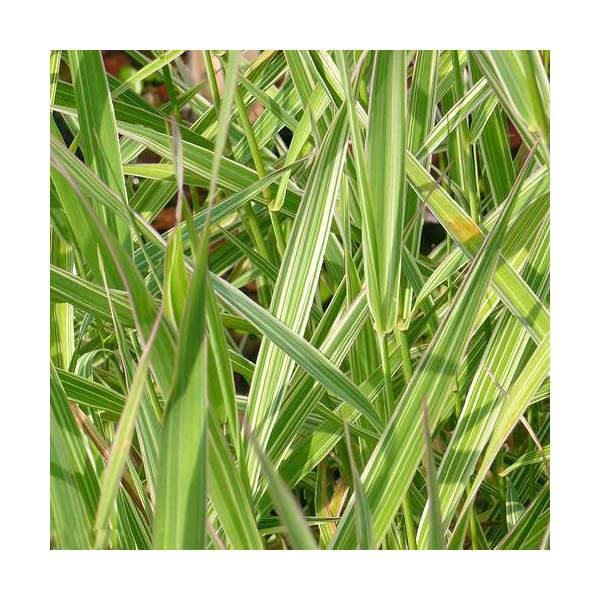 (山野草)フイリクサヨシ(斑入り草葦)(1ポット分)
