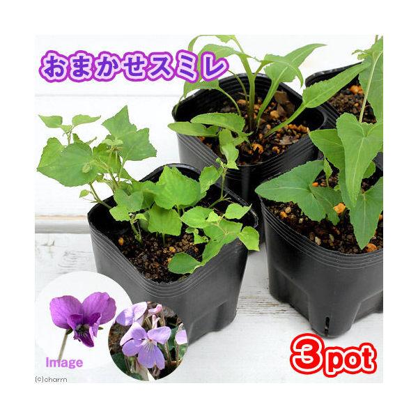 (山野草)スミレ(菫) 品種おまかせ 2~3号( 3ポットセット)