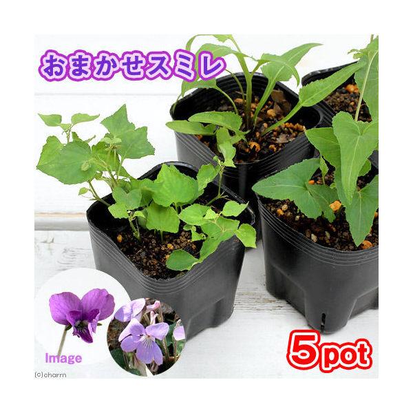 (山野草)スミレ(菫) 品種おまかせ 2~3号(お買い得5ポットセット)