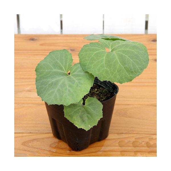 (山野草)山菜 フキ(蕗) 3~4号 (1ポット) 家庭菜園