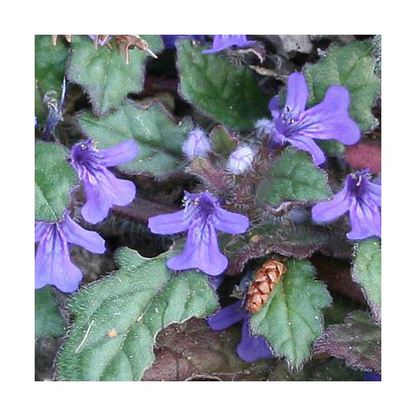 (山野草)キランソウ(紫藍草) 3号( 3ポットセット)