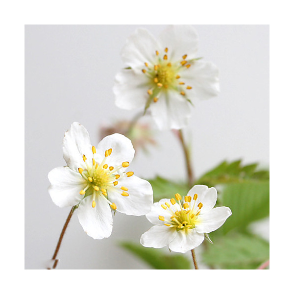 (山野草)白花ノヘビイチゴ(白花蛇苺) 3号(1ポット) (休眠株)