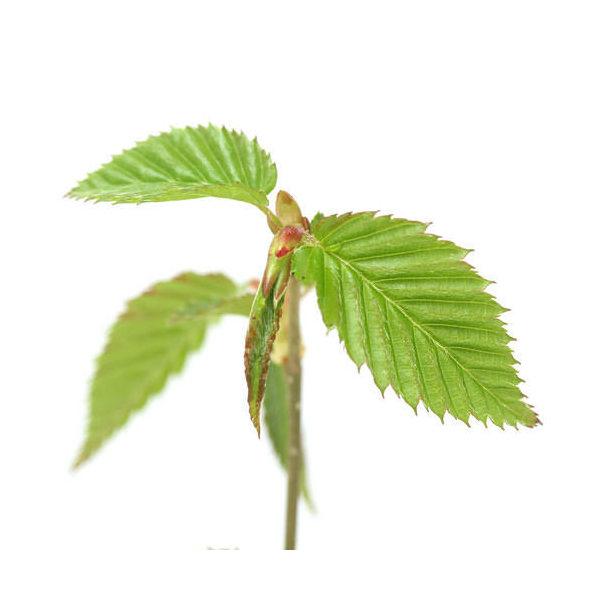 (盆栽)ヤシャブシの苗(夜叉五倍子) 3号(1ポット)