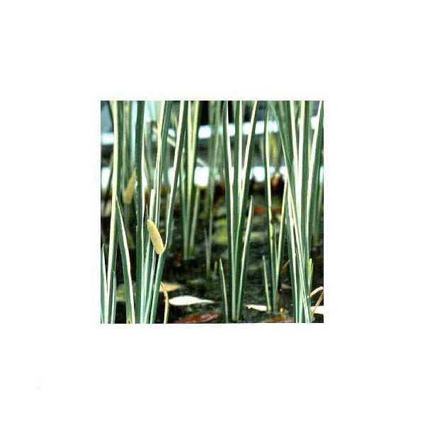 (山野草)斑入りニオイショウブ(香り菖蒲)(1ポット分)