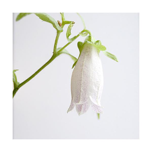 (山野草)白花ホタルブクロ(白花蛍袋)3号(1ポット)