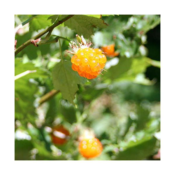 (山野草)モミジイチゴ(紅葉苺 木苺) 3号(1ポット)