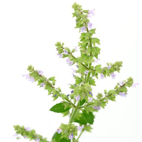 (ビオトープ/水辺植物)ミゾコウジュ(1ポット分)