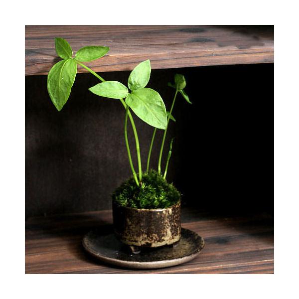 (山野草/盆栽)苔盆栽 おまかせ益子焼鉢植え カラスビシャク(半夏) 丸型 小(1鉢)