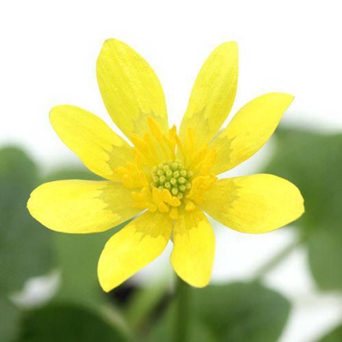 (ビオトープ)水辺植物 姫リュウキンカ(姫立金花)黄系(1ポット)