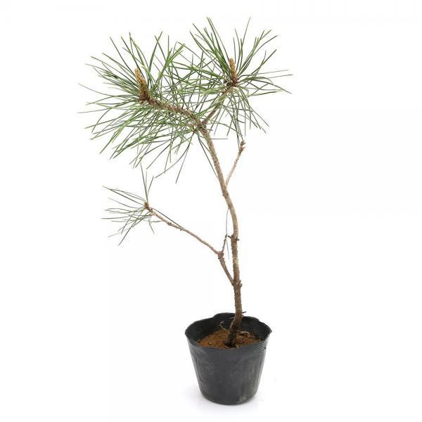 (盆栽)アカマツ(赤松)樹高15~30cm 2.5~3号( 3ポットセット)