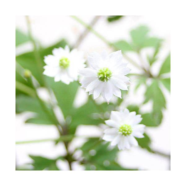 (山野草)八重咲きサンリンソウ(八重咲き三輪草) 3号(1ポット)