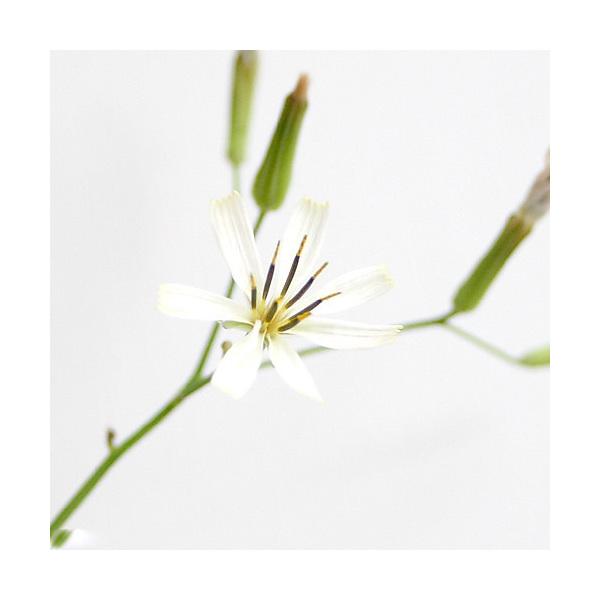 (山野草)白花ニガナ(白花苦菜) 3号(1ポット) (休眠株)