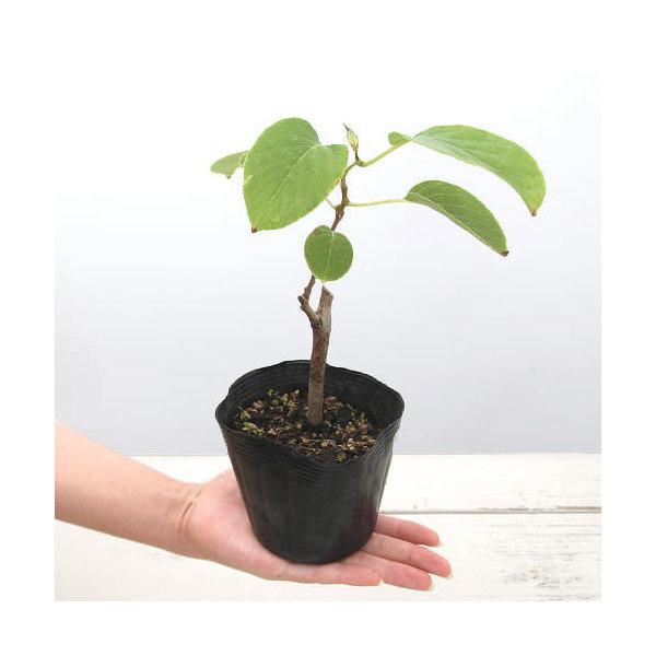 (山野草/盆栽)サルナシの苗(猿梨) 4号(1ポット) 家庭菜園