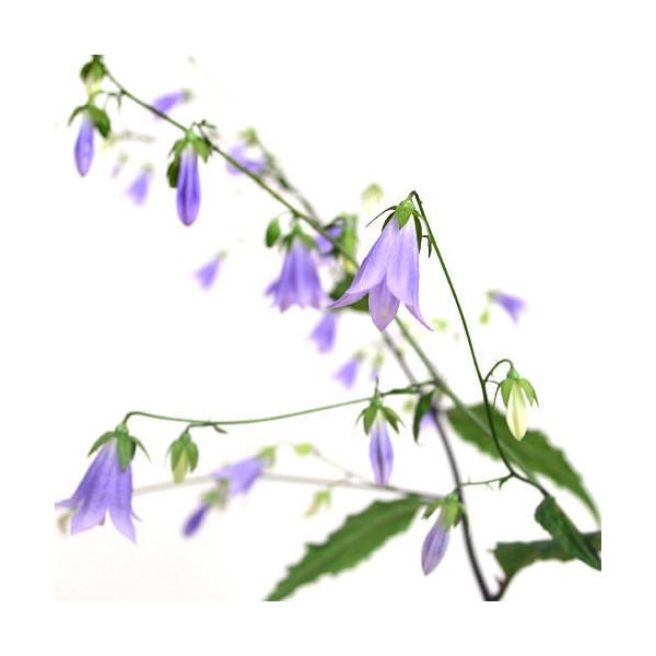 (山野草)ソバナ(岨菜)3号(1ポット)