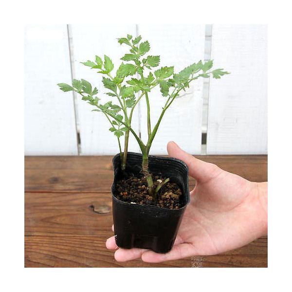 (山野草)山菜 セリ(芹) 3号(1ポット)