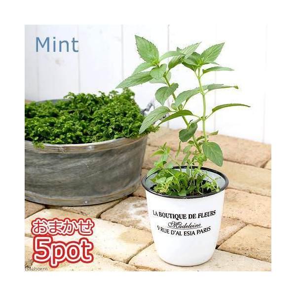 (観葉植物)ハーブ苗 ミント(品種おまかせ) 3号( 5ポットセット) 家庭菜園