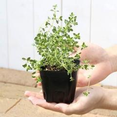 (観葉植物)ハーブ苗 タイム(品種おまかせ) 3号(1ポット) 家庭菜園