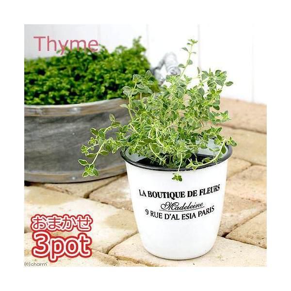 (観葉植物)ハーブ苗 タイム(品種おまかせ) 3号(お買い得3ポットセット) 家庭菜園