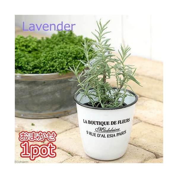 (観葉植物)ハーブ苗 ラベンダー(品種おまかせ) 3号(1ポット) 家庭菜園