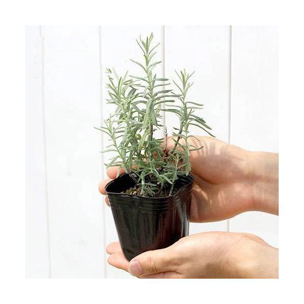 (観葉植物)ハーブ苗 ラベンダー(品種おまかせ) 3号(3ポット) 家庭菜園