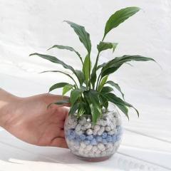 (観葉植物)私のオアシス ハイドロ苗とネオコール ホワイト&ブルー(フローラボールS・ハイドロ苗・ネオコール2色・説明書の5点セット) 本州四国限定