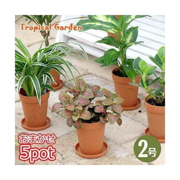 (観葉植物)おまかせミニ観葉 トロピカルガーデンシリーズ 2号ロング(お買い得5鉢セット) 受け皿無し