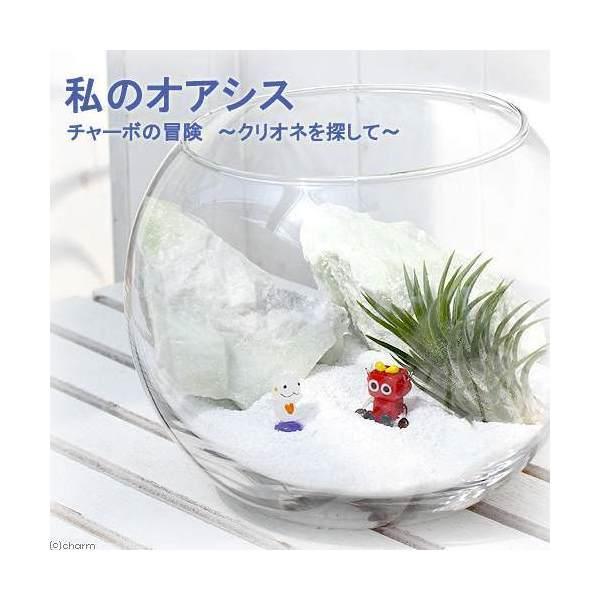 (観葉植物)私のオアシス チャーボの冒険 クリオネを探して(エアープランツインテリアセット)