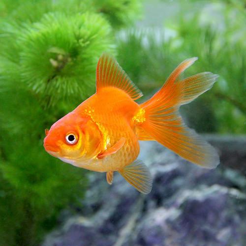 (国産金魚)琉金(リュウキン)(1匹)