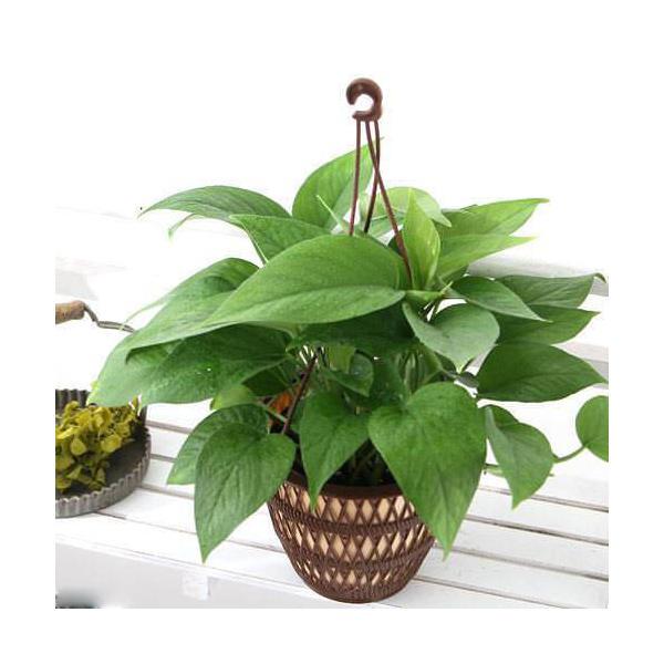 (観葉植物)ポトス パーフェクトグリーン 5号(1鉢)(吊り鉢タイプ)