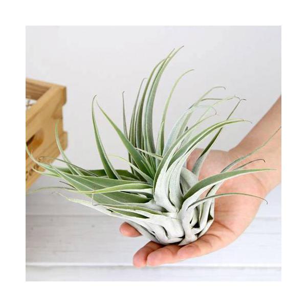 (観葉植物)エアープランツ ティランジア カクティコラ Lサイズ(1株)