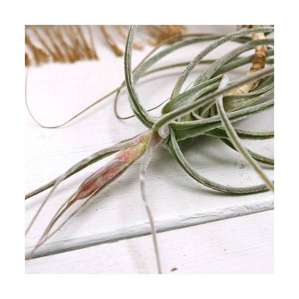 (観葉植物)エアープランツ ティランジア シーディアナ(1株)