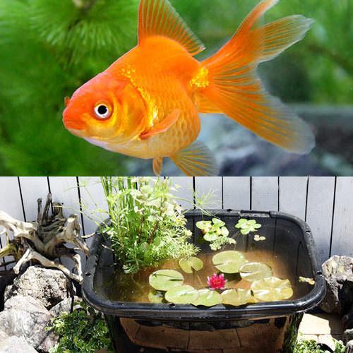 (ビオトープ)(金魚)角型タライのビオトープセット(60型・黒) 温帯性睡蓮(赤)+水辺植物+琉金+他用品 説明書付き 本州・四国限定
