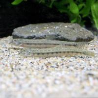 (淡水魚)シマドジョウ Sサイズ(1匹) どじょう