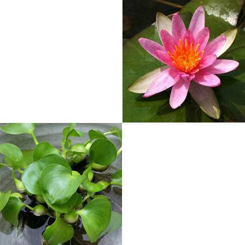 (ビオトープ/睡蓮)蕾付き 温帯性睡蓮(スイレン) 赤(1ポット) + ホテイ草 (3株)